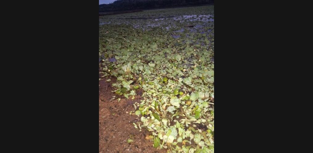 Rio Uruguai em Mondaí é tomado por plantas da água (Foto: Valdenir Ciceri/ Rádio Porto Feliz)