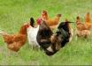 Desentendimento por venda de galinhas acaba em caso de polícia