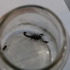 Escorpião é encontrado na sala de uma residência em Maravilha