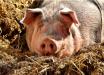 Morador de Joinville ganha porco na rifa da Fazendinha: 'não sei onde vou deixar'