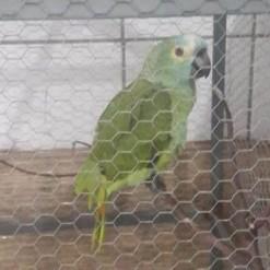 Papagaio é apreendido após anunciar chegada de policiais em ponto de tráfico