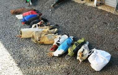 Polícia Militar Ambiental encontrou 14 galos que eram utilizados em rinha