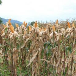 Secretaria da Agricultura inicia distribuição de 200 mil sacas de sementes de milho
