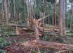 Tornado F1 atinge Oeste de SC e quebra árvores ao meio